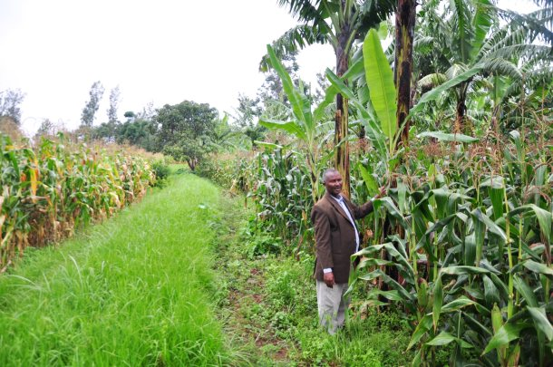 The difference in the maize. he is standing on the maize that he has applied fertilizer and manure and improved frmrign practices. behind him is the maize he has grown following his usual practices.