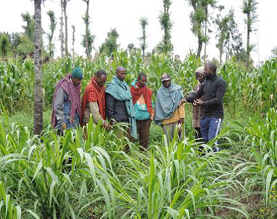 An Africa RISING scientist discussing with farmers characteristics of Napier grass accessions