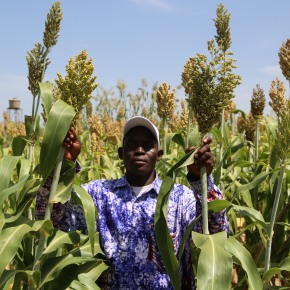 Dual-purpose sorghum varieties improving food and feed security for crop-livestock farmers in southern Mali